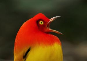 photo of orange bowerbird