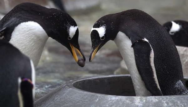 penguins exchanging pebble as nuptial gift