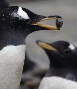 penguin with rock held in beak