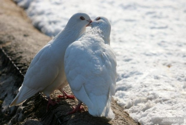 pigeons kissing as nuptial gift